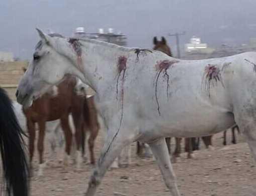 العدوان يقتل الخيول العربية الاصيلة في صنعاء